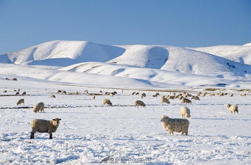 Free New Zealand Photos | Winter Sheep Wallpaper