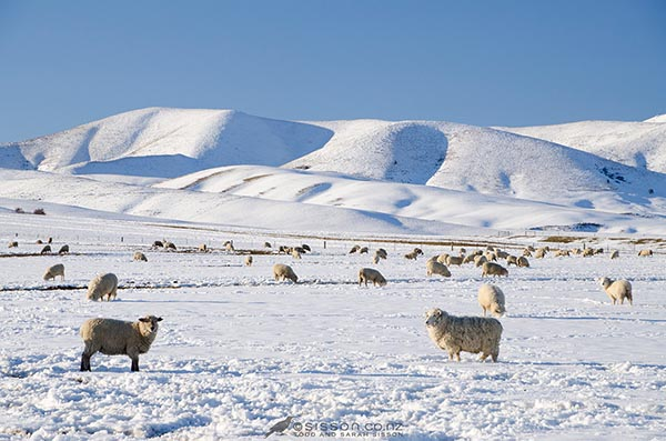 New Zealand Photos   Winter Sheep