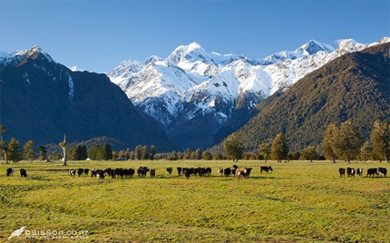 New Zealand Landscape Photography | Cows & Southern Alps, Fox Glacier
