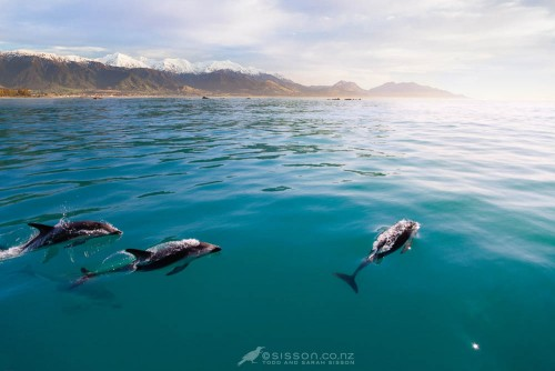 Dolphin viewing New Zealand : A pod of dusky dolphins photographed off the coast of Kaikoura, South Island New Zealand