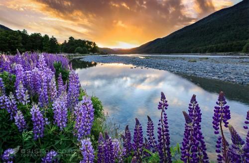 New Zealand landscape Photos | Sunset Lupines Eglinton Valley, Fiordland