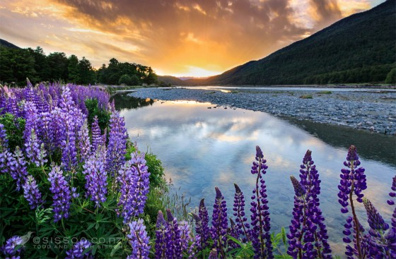New Zealand landscape Photos | Sunset Lupines Eglinton Valley, Fiordland