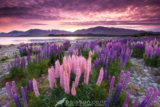 Lake Tekapo Lupins Sunrise New Zealand