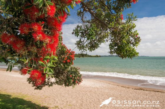 Pohutukawa blossoms flowering, near Paihia, Bay of Islands.  New Zealand landscape photography by Sarah Sisson.