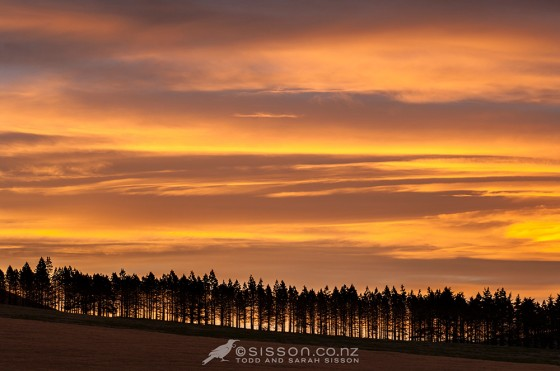 Photo of Row of pine trees silhouetted against vibrant sunset clouds. Rangitata Valley, Canterbury NZ.